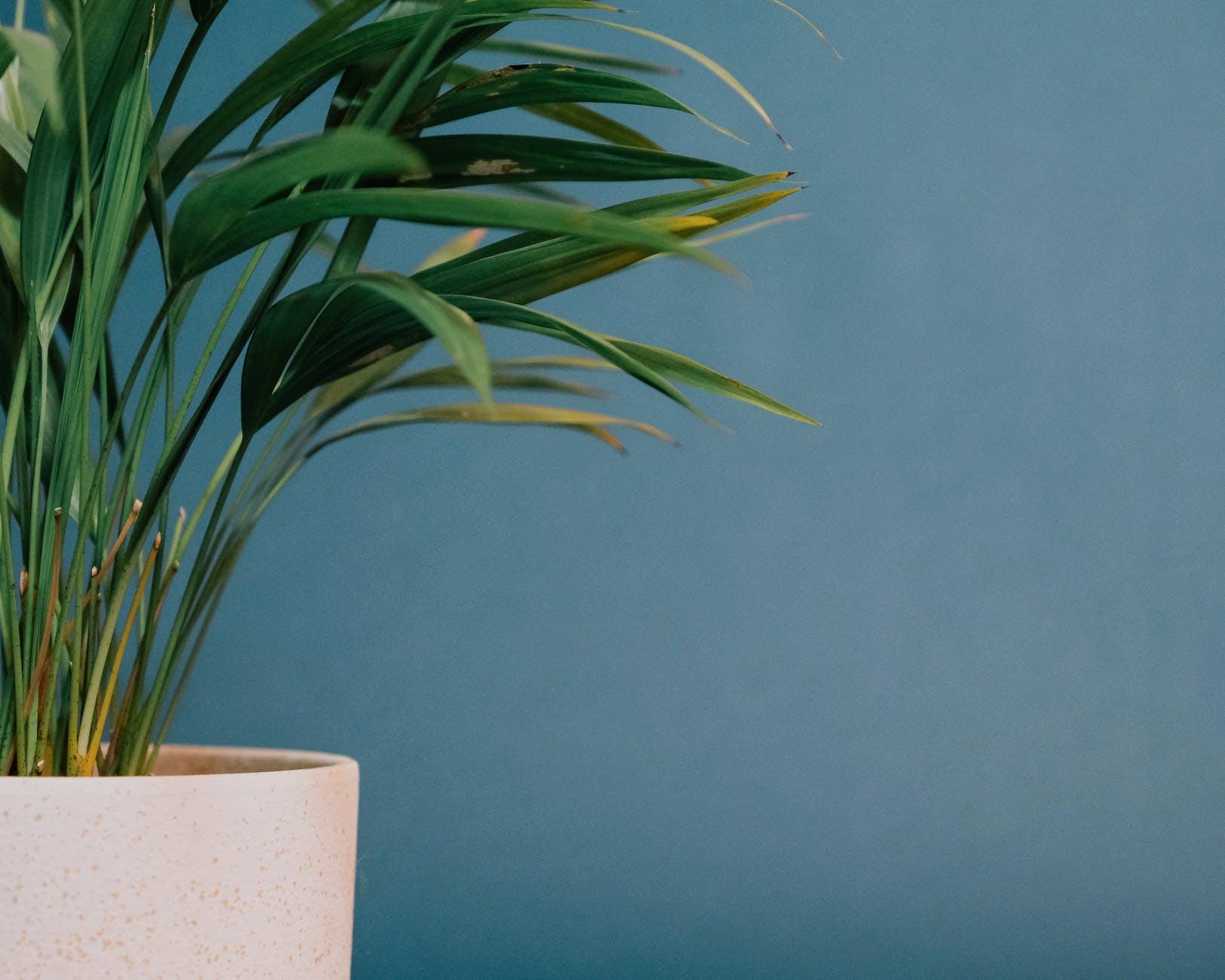 green howea plant on blue background